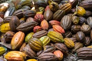 CU_0682: Cuba - Cacao fruits