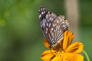 LC_0570: Laos - Butterfly