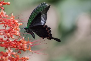 LC_0595: Laos - Butterfly
