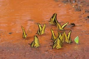 AR_1655: Northern Argentna - Butterflies in the mud