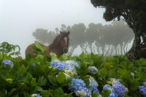 AZ_0191: Azzorre Islands - A horse in the fog