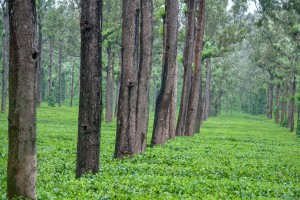DE_0925: Southern India - Tea plantation