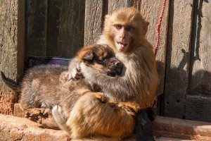 KD_0292: Nepal - Friendship between a monkey and a dog