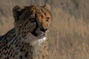 SN_0404: Namibia - Young Cheetah