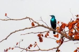 SU_0168: Southafrica - Blue-eared Sterling