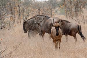 SU_0190: Sothafrica - Gnus at Kruger N. P.
