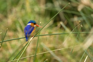 SU_2101: Southafrica - Kingfisher