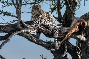 TA_0126: Tanzania - Leopard with his prey