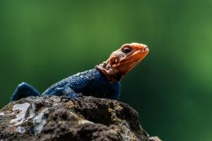 TA_0065: Tanzania - Multicolored Lizard