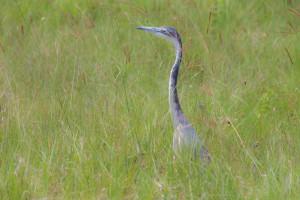 TA_0242: Tanzania - Heron