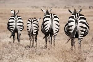 TA_0300: Tanzania - Zebras at Ngorongoro N. P.