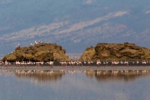 TA_0467: Tanzania - Flamencos at Victoria Lake