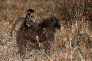 TA_0503: Tanzania - Young baboon with his mother