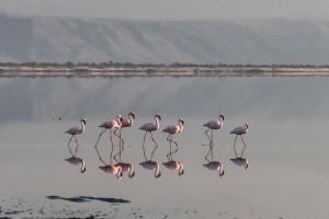 TA_0654: Tanzania - Flamencos at Victoria Lake