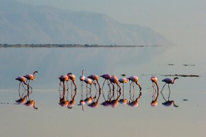TA_0658: Tanzania - Flamencos at Victoria Lake