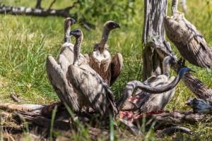 TA_0954: Tanzania - Vultures eating a gnu carcass