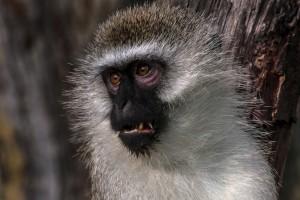 TA_0097: Tanzania - Vervet Teal