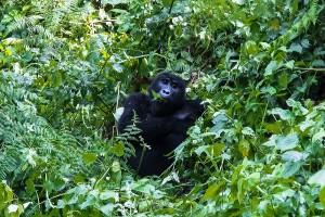 UG_1179: Uganda - Mountain Gorilla