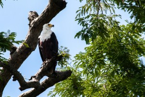 UG_0322: Uganda - African Fish Eagle