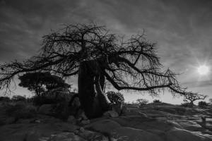 ZAMB_0763: Botswana - Baobab in Kubu Island